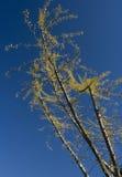 Lames d'automne jaunes contre le ciel bleu Image stock