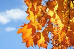 Lames d'automne jaunes et ciel bleu Photographie stock