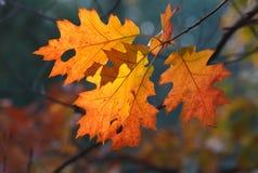 Lames d'automne oranges de chêne Image stock