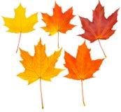 Lames d'automne réglées (isolement de chemin de découpage) Photographie stock