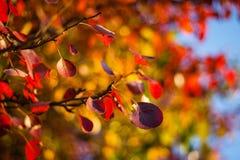 Lames d'automne rouges Image stock
