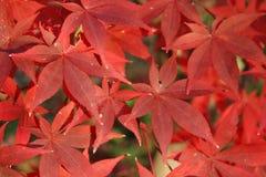 Lames d'automne rouges photo stock