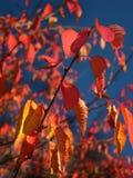 Lames d'automne rouges Image libre de droits