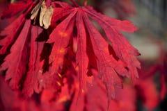 Lames d'automne rouges Images libres de droits