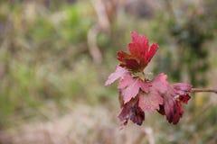 Lames d'automne rouges Photo libre de droits