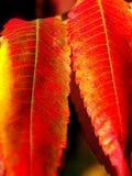 Lames d'automne rouges chaudes Images libres de droits