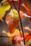 Lames d'automne rouges et jaunes Photographie stock