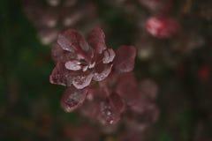 Lames d'automne rouges Rosée sur des lames Automne Après pluie Photographie stock