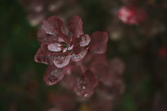 Lames d'automne rouges Rosée sur des lames Automne Après pluie Image stock