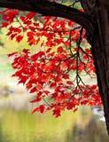 Lames d'automne rouges sur l'arbre Photos stock