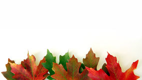Lames d'automne sur le blanc Image libre de droits