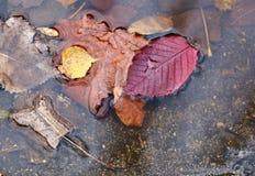 2008 lames d'or de lame de plantation d'automne sec d'automne d'air près de chêne octobre Russie tourne qui enroulent le jaune Photos stock