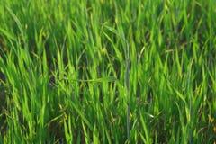 Lames d'herbe image libre de droits
