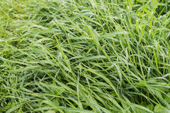 Lames d'herbe avec des gouttelettes de rosée de fin Photographie stock