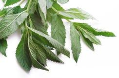 Lames d'herbe de menthe fraîche Photo stock