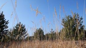Lames d'herbe sèche dans la forêt banque de vidéos