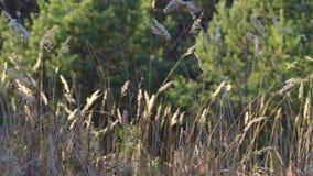 Lames d'herbe sèche dans le pré au coucher du soleil dans la forêt clips vidéos