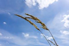 Lames d'herbe sèches d'or au soleil contre le ciel bleu Image stock