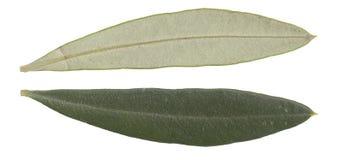 Lames d'olivier Image stock