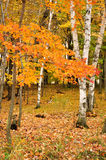 Lames d'érable de couleur et arbres de bouleau Photo stock