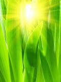 Lames d'un gladiolus à la lumière du soleil Photos libres de droits