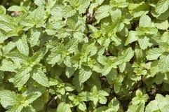 Lames d'usine d'herbe de menthe poivrée Photographie stock libre de droits