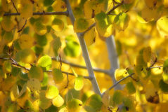 Lames de bouleau d'automne Photos stock