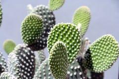 Lames de cactus Photo libre de droits