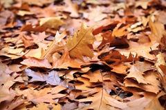 Lames de chêne d'automne Photo libre de droits