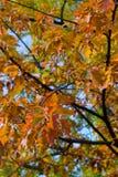Lames de chêne d'automne Photographie stock libre de droits
