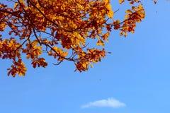 Lames de chêne d'automne contre le ciel bleu-foncé Photographie stock libre de droits
