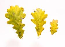 Lames de chêne dans l'automne Photo stock