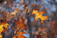 Lames de chêne en automne photographie stock libre de droits
