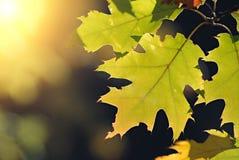 Lames de chêne et lumière du soleil chaude Image stock