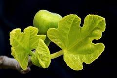 Lames de figue de germination et figue Photographie stock libre de droits