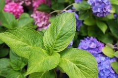 Lames de fleur de hydrangea Photographie stock libre de droits