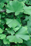 Lames de Gingko Photos stock