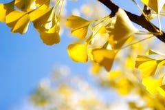 Lames de ginkgo d'automne contre le ciel photo libre de droits
