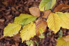 Lames de hêtre d'automne Images libres de droits