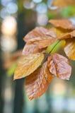 Lames de hêtre en automne Photographie stock