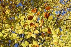 Lames de hêtre en automne Images stock