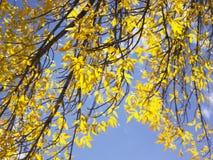 Lames de jaune sur des branchements d'arbre photos libres de droits