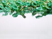 Lames de lotus Photographie stock