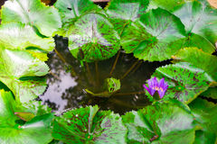 Lames de lotus Images libres de droits