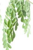Lames de moringa oleifera Photographie stock