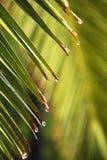 Lames de palmier avec des baisses de l'eau après pluie Photographie stock libre de droits