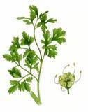 Lames de persil et fleur (crispum de petrosélinum) Photographie stock