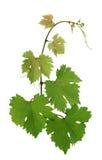 lames de raisin Photographie stock libre de droits