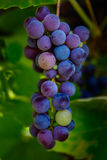 Lames de raisin Photo stock