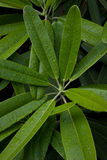 Lames de rhododendron Images libres de droits